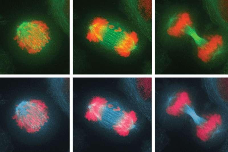How cells combat chromosome imbalance