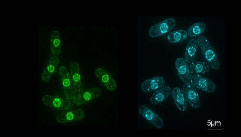 How cells control nuclear size becomes clearer – could lead to greater understanding of cancer and aging process