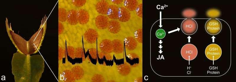 How venus flytraps trigger digestion