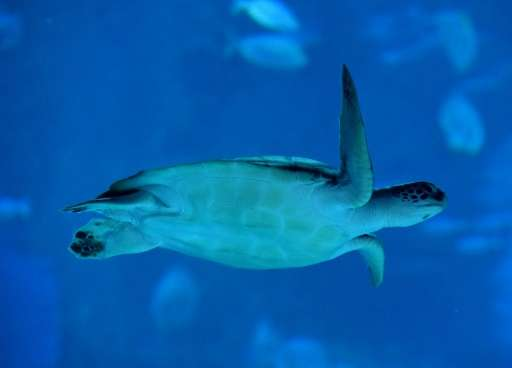 Human medicines and household substances have been discovered in the blood of green turtles in Australia's Great Barrier Reef, r