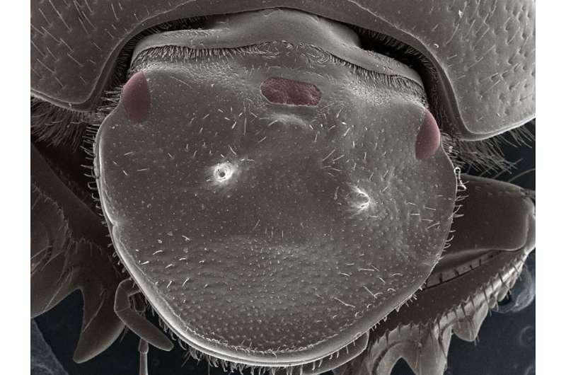 Indiana University biologists create beetle with functional extra eye