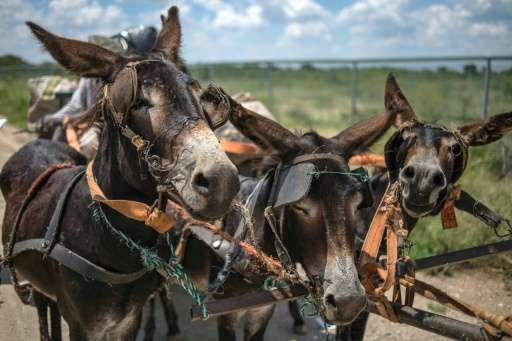 In South Africa villagers often rely on donkey-drawn carts to collect recycling material, firewood and sand for sale