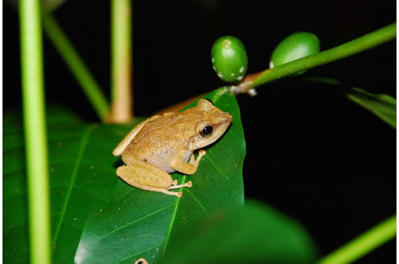 Invasive frogs give invasive birds a boost in Hawaii