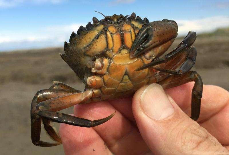 Invasive green crab found near Sequim, Washington