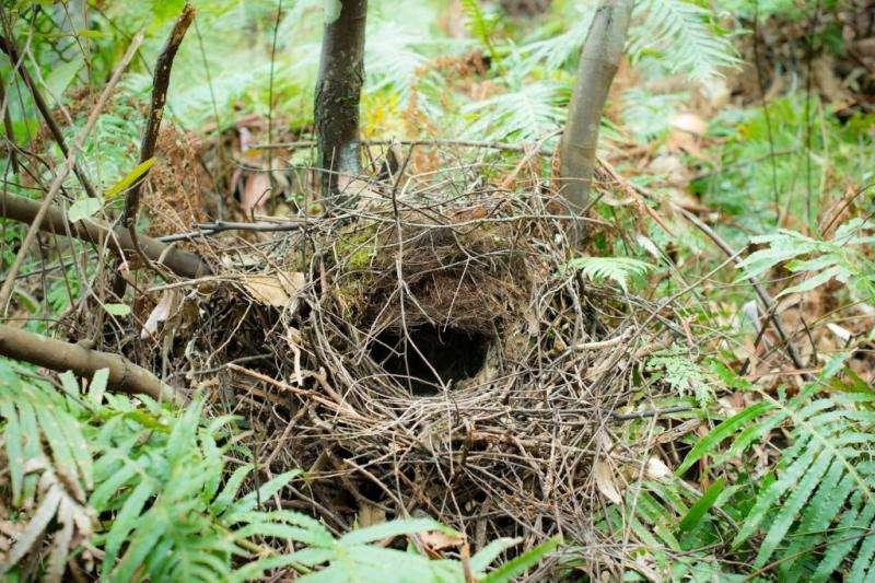 Is Australia the birthplace of birds nests?