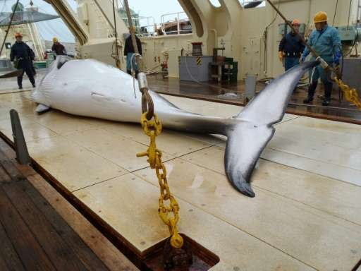 Japan is a signatory to the International Whaling Commission's moratorium on whale hunting, but uses a loophole in the temporary