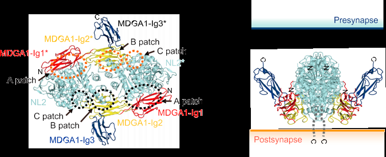 Key protein to regulate synapse formation