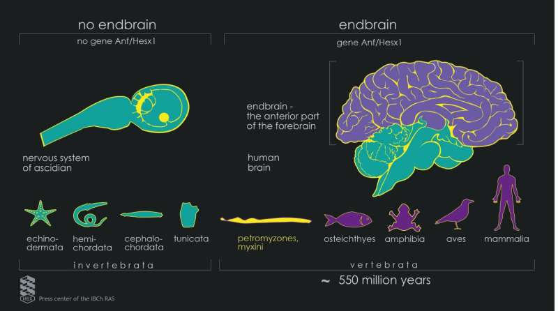 Lamprey helps scientists discover how the human brain appeared