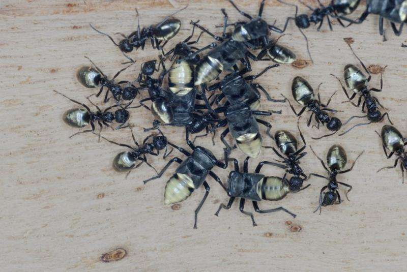 Largest group of Australia's insects collaborate to avoid being eaten