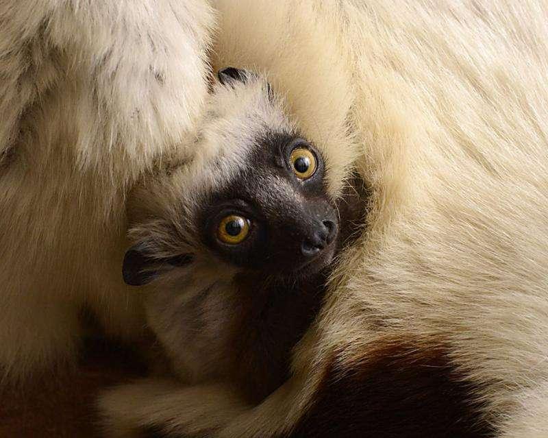 Lemur research gets a gut check