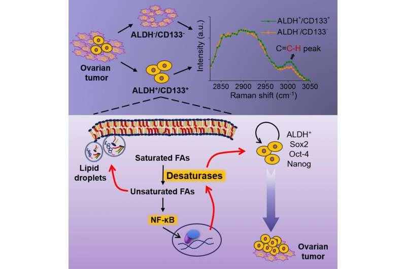 Lipid metabolism is potential 'Achilles' heel' for cancer stem cells