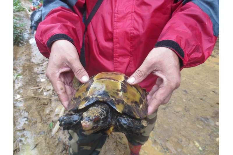 Little tortoise, big range