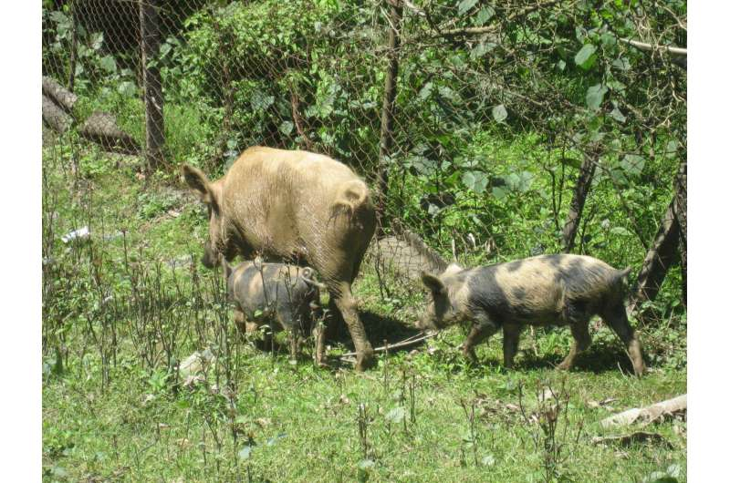 Live-pig markets and traders could provide insight to controlling African swine fever