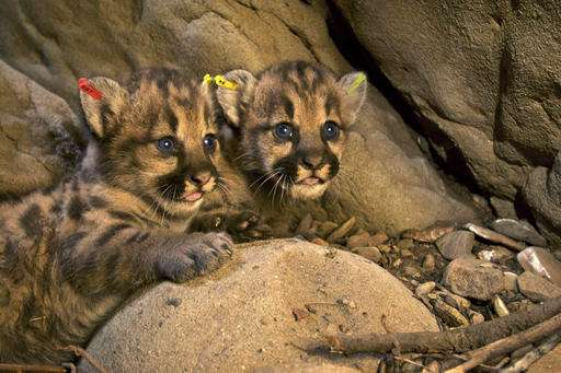 Los Angeles freeway claims 3rd mountain lion in 2 months
