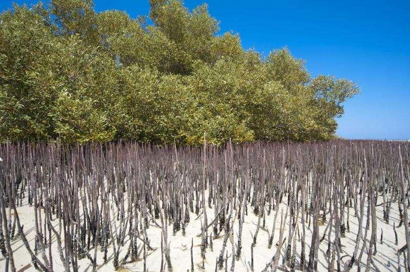 Mangroves vital for environmental decontamination