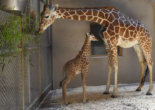 Maryland Zoo: Baby giraffe receives 2nd plasma transfusion