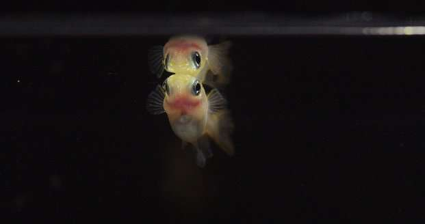 Medaka fish use faces to identify different individuals
