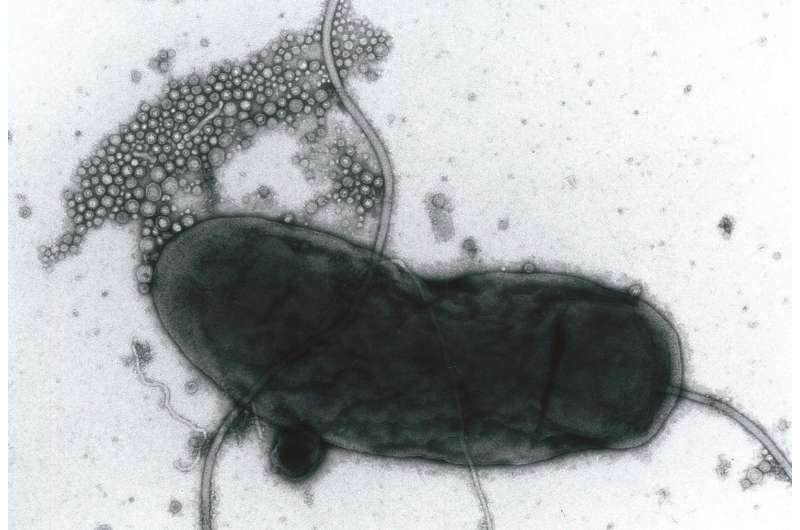 Membrane vesicles released by bacteria may play different roles during infection