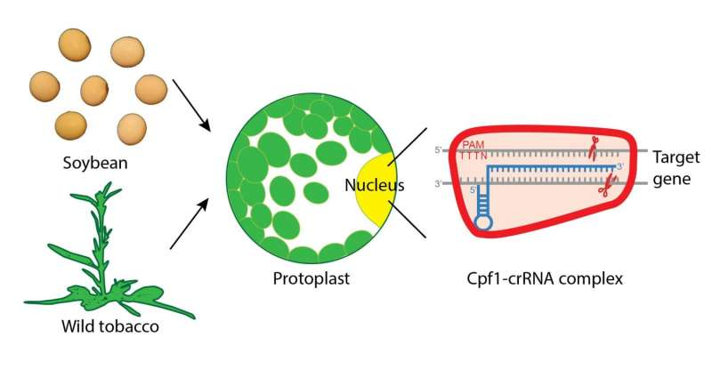 Modifying fat content in soybean oil with the molecular scissors Cpf1