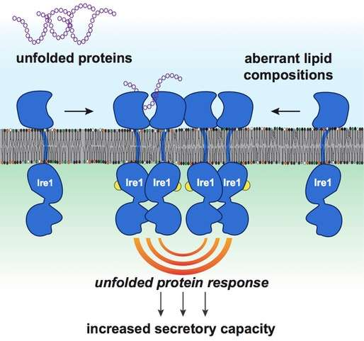 Molecular biologists discover an active role of membrane lipids in health and disease