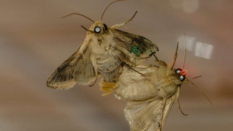 Moth females use scent proximity to attract mates
