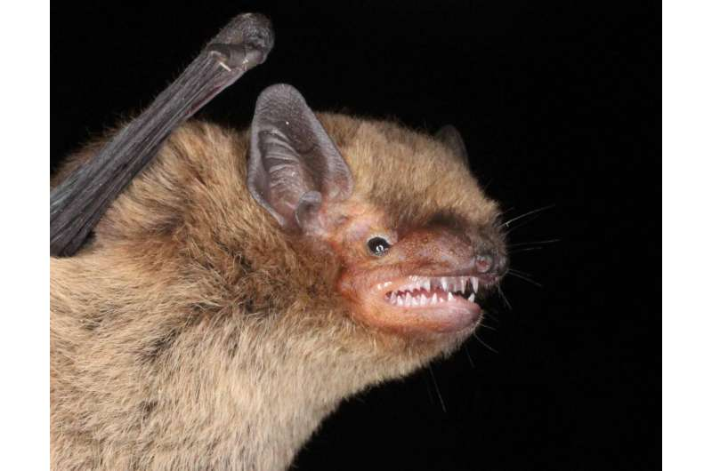 Nathusius and Soprano bats are attracted to green light