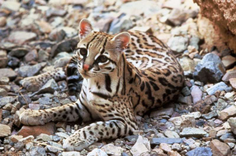 Neotropical spotted cats may appear more frequently near protected areas