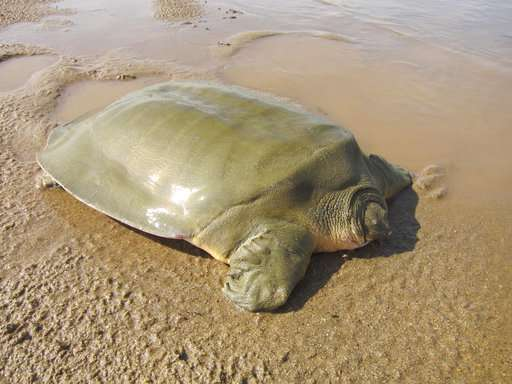 Nest of endangered giant softshell turtle found in Cambodia