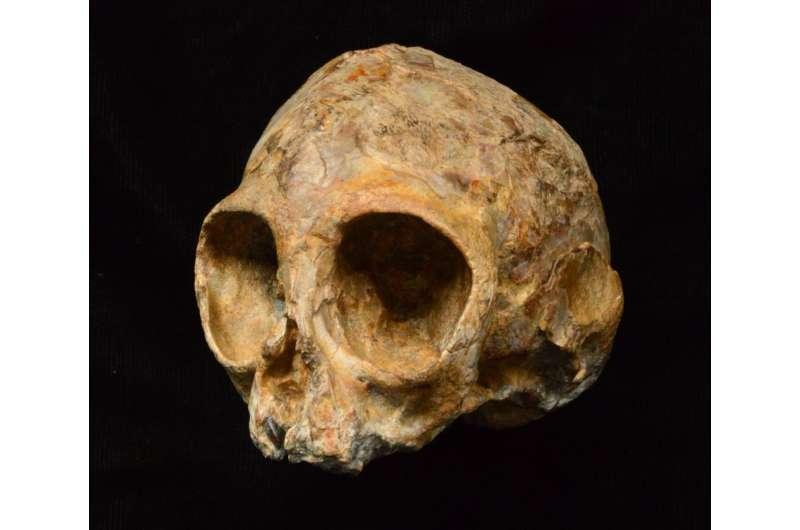 New 13-million-year-old infant skull sheds light on ape ancestry