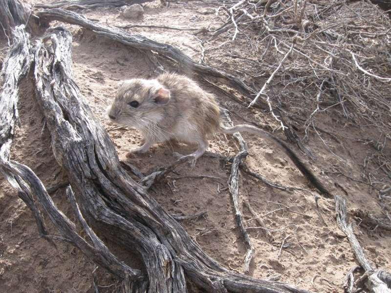 New analysis of rare Argentinian rat unlocks origin of the largest mammalian genome