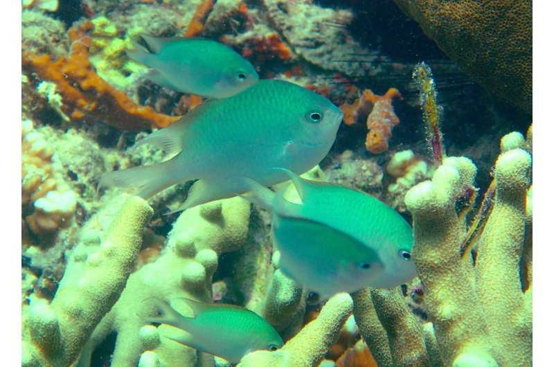 New coral reef fish species shows rare parental care behavior