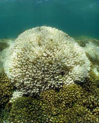 Newly described algae species toughens up corals to endure warming oceans