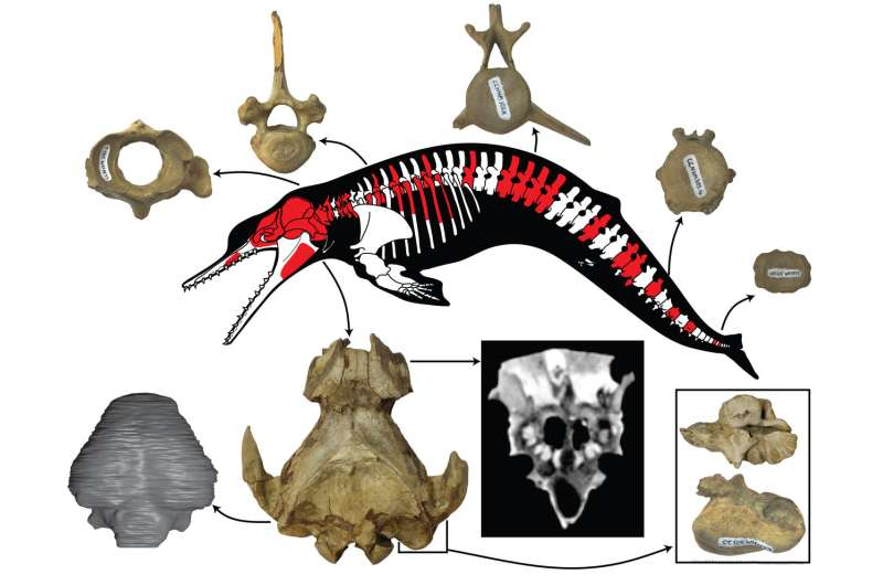 New postcranial skeleton of ancient dolphin Albertocetus meffordum found in South Carolina