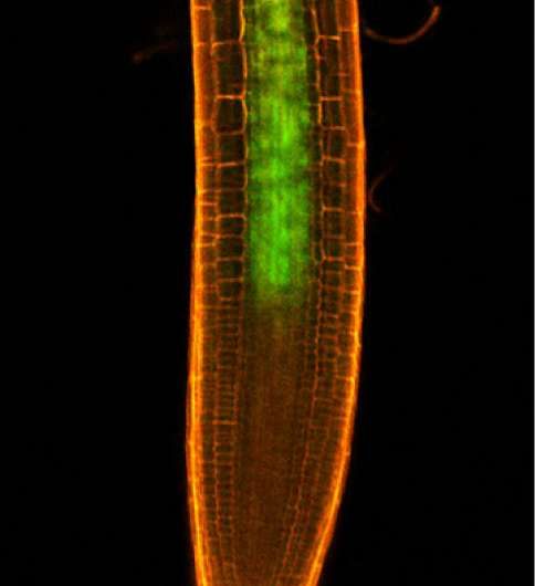 Nitrogen foraging ability of plants relies on mobile shoot–root hormone signal