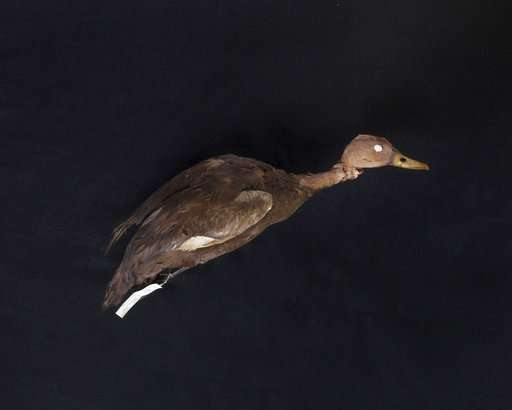 Not so cold duck? Man keeps looking for bird thought extinct