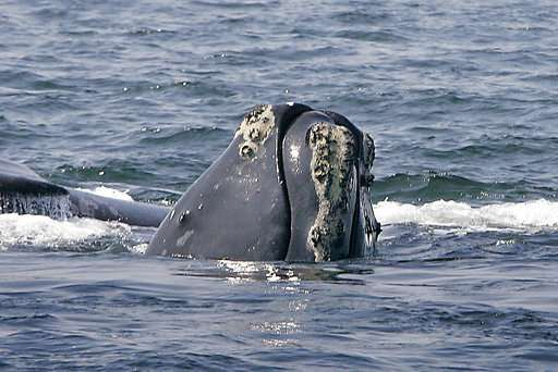Officials: Whales, after deadly year, could become extinct