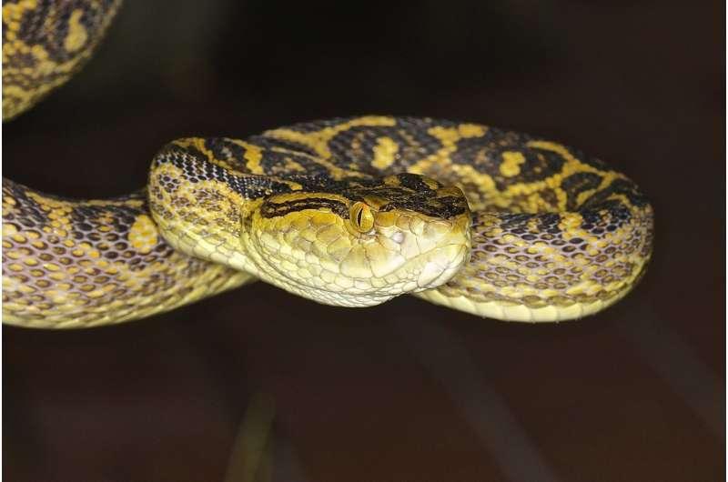 Okinawan pit viper genome reveals evolution of snake venom