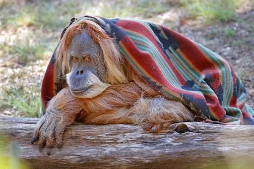 Oklahoma City zoo celebrates orangutan's 50th birthday