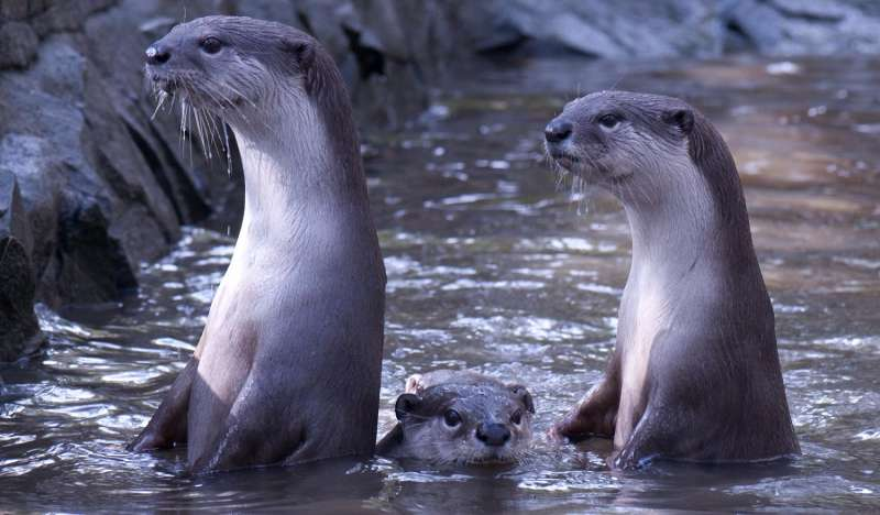 Otters learn by copying each other