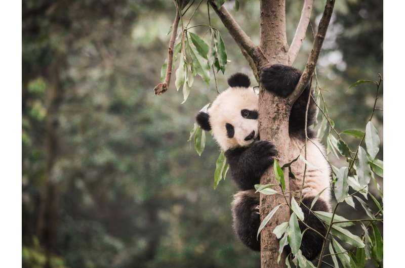 Panda habitat shrinking, becoming more fragmented