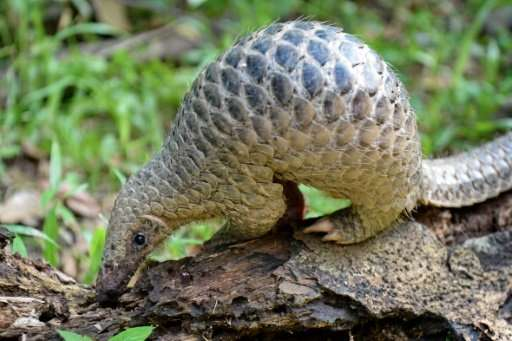 Pangolins, also known as scaly anteaters, are endangered, but fetch a high price on the black market as their meat is prized as