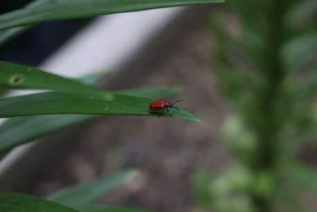 Parasitizing wasps offer hope against devastating lily beetle