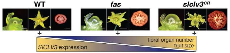 Plant geneticists develop a new application of CRISPR to break yield barriers in crops