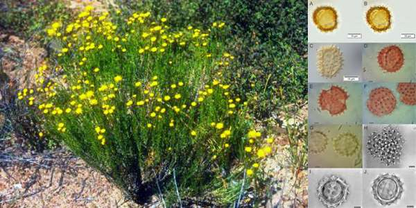 Pollen record of plant currently being eradicated extends much further back than the 100 years it is believed to be gr