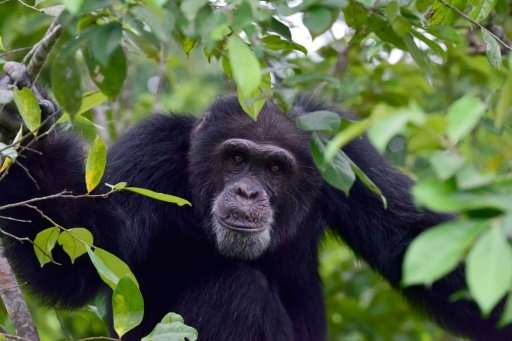 Ponso, the only surviving chimpanzee of a colony of 20 apes, sits in a tree on Chimpanzee Island in Ivory Coast,where the ape po