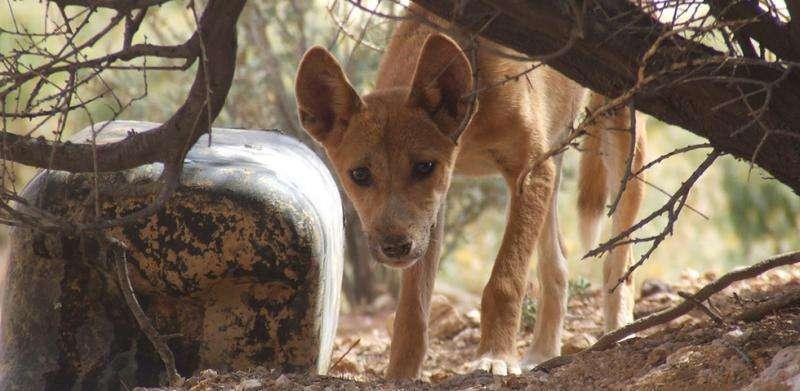 Predator-friendly farming—good for livestock, dingoes and the bottom line