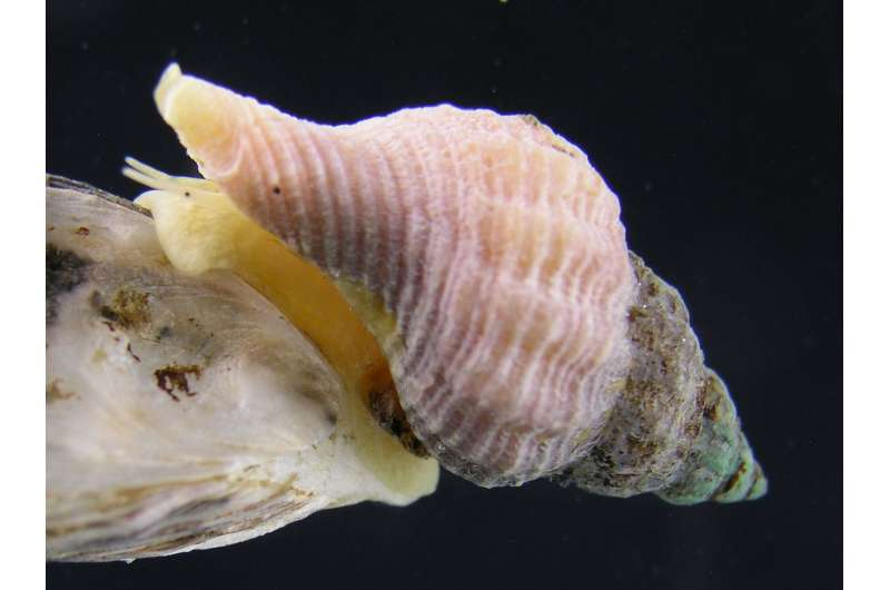Predator or not? Invasive snails hide even when they don't know