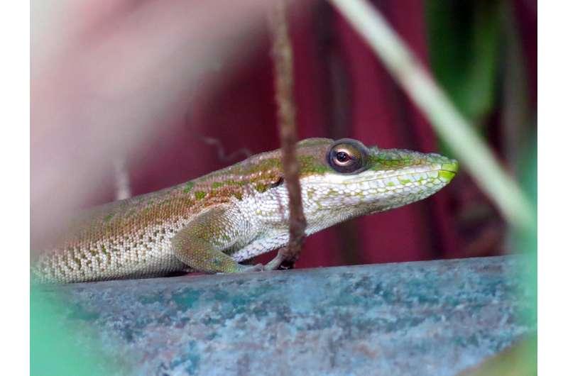 Predatory lizard enters Brazil clandestinely