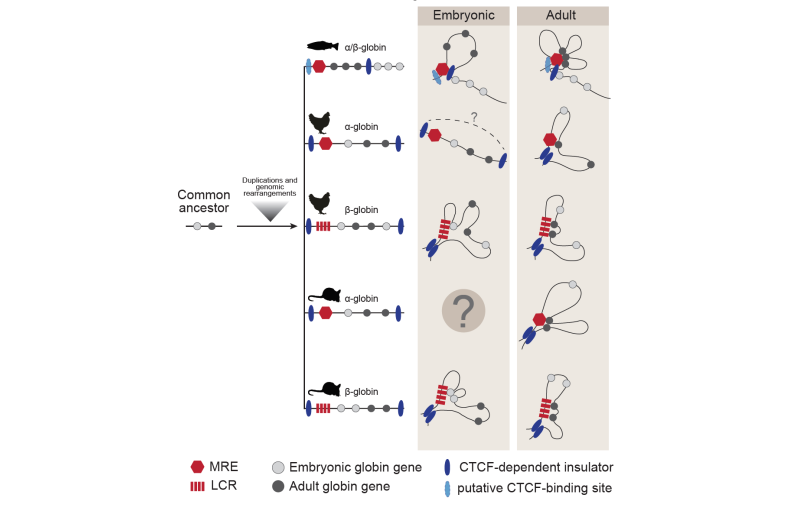 Principles of 3-D genome folding and gene expression studied across species