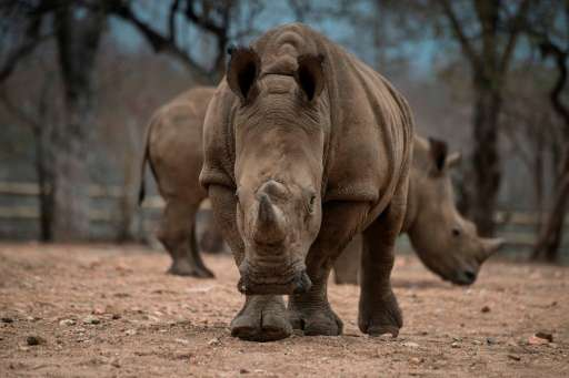 Protected Rhinos roam and feed in an enclosed precinct at the Kahya Ndlovu Lodge on September 25, 2016 in Hoedspruit, in the Lim